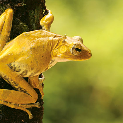 Yellow Frog on a Tree