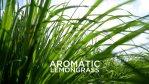 Aromatic Lemongrass