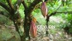 Cocoa and Cocoa Tree