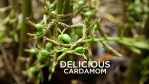 Cardamom Plant with Cardamom