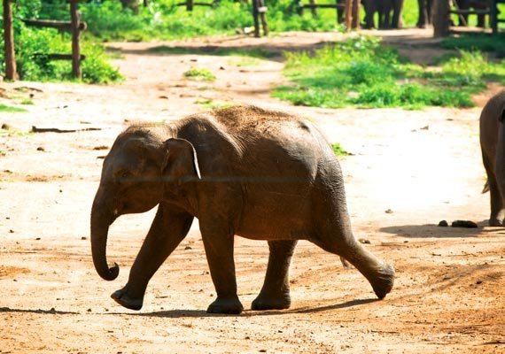 Risultati immagini per udawalawe elephant transit home sri lanka
