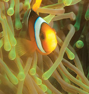 A photo of a Clownfish Under the Sea