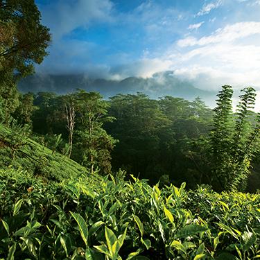 A Photo of Tea Plantation