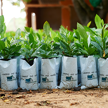 Saplings Ready to Plant Inside Dilmah Covers