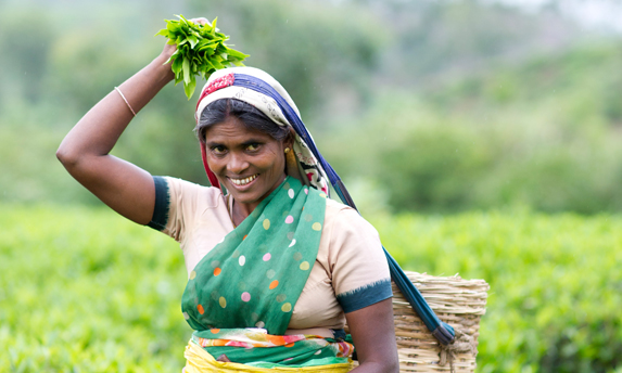 Tea Worker Putting Plucked Tea Leaves into Her Basket